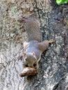 Plantain Squirrel, Callosciurus notatus, Chewing On Mango Seed Royalty Free Stock Photo