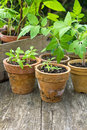 Plantas de tomate Fotos de Stock Royalty Free