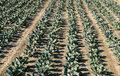 A plantation of cabbage in rows on a field Royalty Free Stock Photo