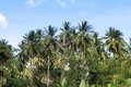 Plantation of coconut trees. Farm. Philippines. Royalty Free Stock Photo
