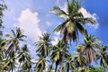 Plantation of coconut trees. Farm. Philippines. Royalty Free Stock Photo