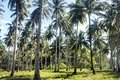 Plantation of coconut trees. Farm. Philippines. Palawan Island.. Royalty Free Stock Photo