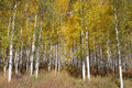 Plantation d'Aspen d'automne Photo stock