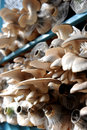 Plantation de champignon de couche Photos stock