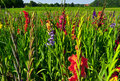 Plantation of gladioli Stock Images