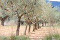 Plantation of olive trees Stock Images