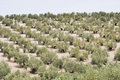 Plantation of olive trees, Andalusia Royalty Free Stock Image