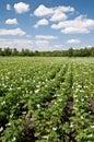 Plantation of potatoes Royalty Free Stock Photo