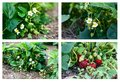 Plantation of the strawberry collection in garden Stock Images