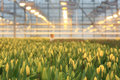 Plantation of tulips in a greenhouse agribusiness Stock Images
