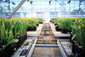 Plantation of tulips in a greenhouse agribusiness Royalty Free Stock Image