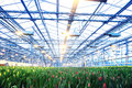 Plantation of tulips in a greenhouse agribusiness Stock Photos