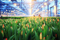 Plantation of tulips in a greenhouse agribusiness Stock Photography