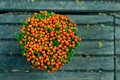 Plante en pot de granadensis- de Nertera Images libres de droits