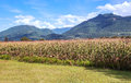 Planting of cereals in france in the background are mountains on a sunny day Stock Photo