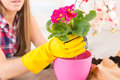 Planting colorfull flower in a flowerpot beautiful young woman at her home Royalty Free Stock Photos