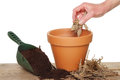 Planting a dahlia hand tuber into terracotta pot on potting bench Stock Image