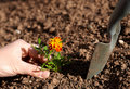Planting flower Royalty Free Stock Images