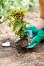 Planting a flower into earth an overly grown in the garden Royalty Free Stock Photos