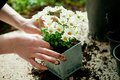 Planting flower hands white plant in metal pot Stock Photo