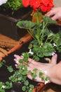 Planting flowers Pelargonium.