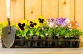 Planting garden with daisies violas cultivator and pots on wood background Stock Photography