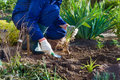 Planting an iris flower close up of farmer s hands in soil using shovel Royalty Free Stock Image