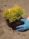 Planting juniper seedling and garden work in soil Stock Photos