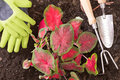 Planting lasting love caladium in the garden with an overhead view of colourful red and green variegated heart shaped leaves Royalty Free Stock Image