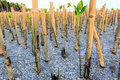 Planting mangrove tree prevent wave milling process Stock Image