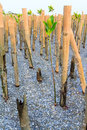 Planting mangrove tree prevent wave milling process Stock Photo