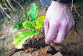 Planting Oak Seedling Royalty Free Stock Photo