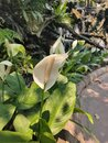 Planting peace lilly to help clean the air Royalty Free Stock Photo