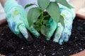 Planting pepper seedling