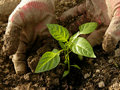 Planting pepper seedlings hands sweet Royalty Free Stock Images