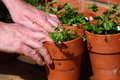 Planting pot a photograph of man bacopa plant in Royalty Free Stock Photos