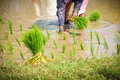 Planting rice paddies indian women in field Royalty Free Stock Image