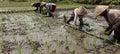 Planting rice seedlings Royalty Free Stock Photo