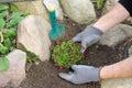 Planting a saxifraga bryoides Royalty Free Stock Photo