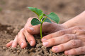 Planting seedling of cucumber women s hands Royalty Free Stock Photography