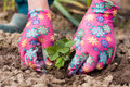 Planting Seedling Of Strawberry In Garden. Royalty Free Stock Photo