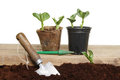 Planting seedlings Royalty Free Stock Image