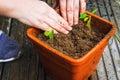 Planting seedlings closeup of hands flower in flowerpot Royalty Free Stock Photo
