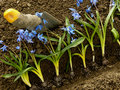 Planting siberian squill on flower bed Royalty Free Stock Photography
