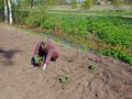 Planting strawberries woman strawberry plants in the garden soil Stock Photography