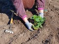 Planting strawberries woman strawberry plants in the garden soil Royalty Free Stock Image
