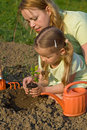 Planting a tomato seedling in the garden Royalty Free Stock Photo