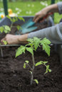Planting young tomato plants woman Stock Image