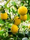 Plants. Citrus limon Royalty Free Stock Photo