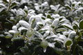 Plants covered in ice green with their leaves Royalty Free Stock Photo